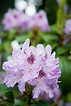 Close up, shallow focus detail shot of full heads of perfect, pale purple rhododendron blooms with deep purple accents at the Dunn Gardens, a former private estate near Seattle now run as a woodland botanical garden and available for touring by appointment and fee.