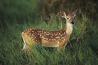White-tailed Deer (Odocoileus virginianus), fawn in tall grass, Starr County, Rio Grande Valley, Texas, USA