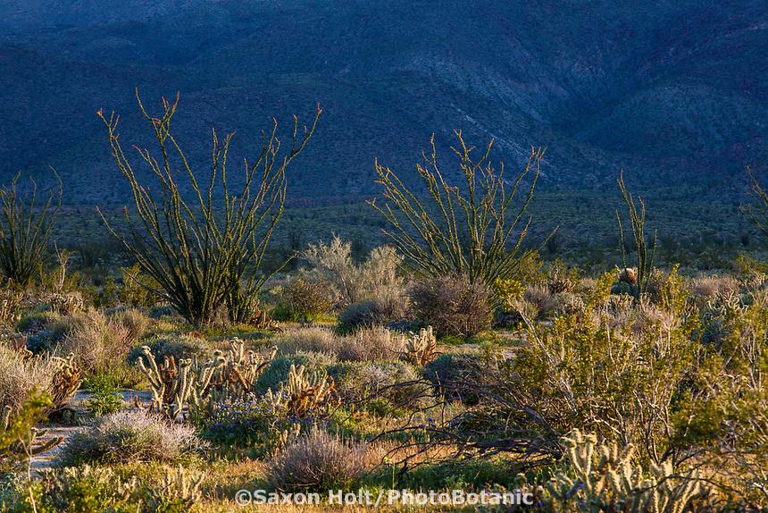 Desert landscape, California native plant Anza Borrego State Park