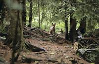 Rotfuchs, Rot-Fuchs, Fuchs im Wald, Vulpes vulpes, red fox
