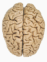 Human brain from above, showing the two hemispheres of the cerebrum. The cerebrum is the largest part of the brain and it governs higher brain functions including thought. The brain contains more than 300 billion neurons and is composed mainly of gray matter which originate and process nerve impulses and white matter which transmit the impulses.