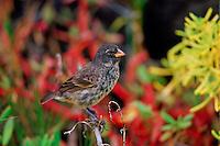 Darwin Finch bird perched on branch, Santa Cruz, the Galapagos Islands, Ecuador