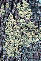 LICHEN<br /> Lichen - Suffern, NY<br /> Lichen are composite organisms consisting of a symbiotic association of a fungus with a photosynthetic partner usually either a green alga or cyanobacterium.