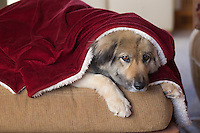 adorable German Shepard mixed breed dog under a red blanket