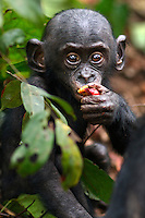 Bonobo male baby aged 10 months feeding (Pan paniscus), Lola Ya Bonobo Sanctuary, Democratic Republic of Congo.