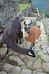 South America, Peru. Llamas at Machu PIcchu, a UNESCO World Heritage Site.