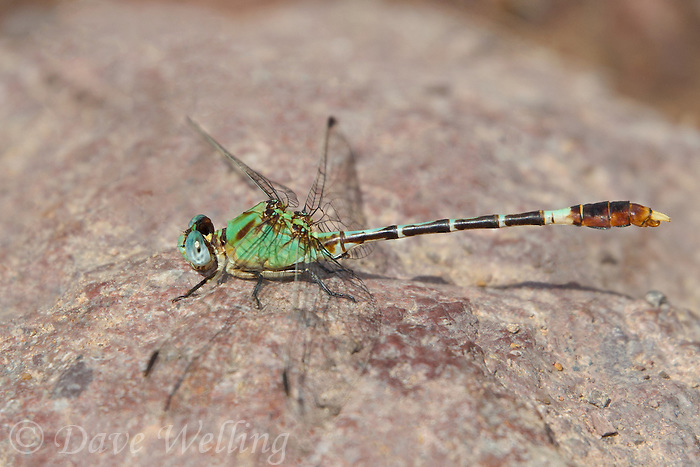 385420002 a wild male straight-tipped ringtail erpetogomphus elaps perches on a rock in bear creek cochise county arizona united states this is the second us record for this species