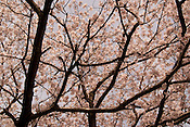 Cherry blossoms (sakura) in Japan.