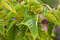 Snake bark maple (Acer davidii)