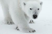 Polar bear / Ursus maritimus<br /> Nordvest &oslash;yana<br /> Svalbard<br /> Norway