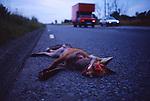 Dead Fox-Road Kill