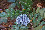 Leatherleaf Mahonia, Mahonia bealei, with blue berries, at Bellingrath Gardens near Moblie, Alabama in early spring.