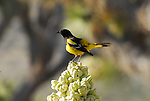 Scott's Oriole, Icterus parisorum on blooming yucca