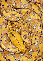 Reticulated Python (Python reticulatus), captive, native to Southeast Asia.