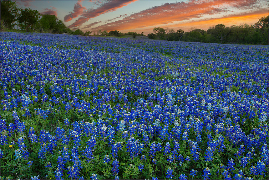 This bluebonnet image comes from Ennis, Texas. The evening was calm after a storm had passed. The The setting sun had lit up the remaining clouds in the sky. The field of our favorite Texas Wildflowers was still and serene. I drove a long way in the Spring of 2013 in search of bluebonnets and other wildflowers. Unfortunately, it was not a great year for color. This field was one of the few bluebonnet displays in the state of Texas this year.
