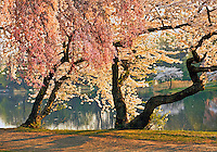 New Jersey, Newark, Branch Brook Park, Spring, Cherrry Blossom trees by pond