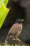 Taveuni, Fiji; a Common Myna (Acridotheres tristis) bird standing on the lava rock near the water's edge