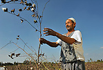 Farhoun Saad harvests cotton outside the Egyptian village of Sakra.