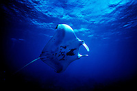 """Manta Ray underwater, Palmyra atoll.  The largest purchase to date for the Nature Conservancy is the Palmyra an atoll situated about 300 miles north of the equator.  Palmyra has five times as many coral species as the Florida Keys and three times as many as Hawaii.  It is home to the world's largest invertebrate, the rare coconut crab, and a population of red-footed booby birds second only to that of the Galapagos.  It is the last marine wilderness area left in the U.S. tropics and is home to the last remaining stands of Pisonia grandis beach forest in the world.  Palmyra was a US Navy supply base in World War II, the site of a proposed nuclear waste dump, an unsuccessful coconut plantation and of various development schemes.  Palmyra is most famous for the 1974 slaying  of a married couple which became the subject of the best-selling book """"And the Sea Will Tell,"""" by Vincent Bugliosi."""