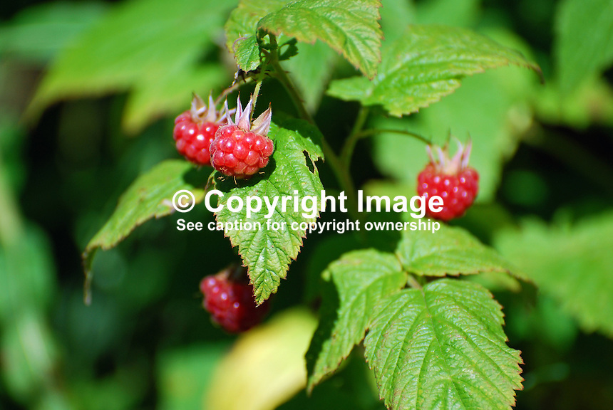 Wild rasperries, wild raspberry, Strangford, Co Down, N Ireland, UK, 200907252905..Copyright Image from Victor Patterson, 54 Dorchester Park, Belfast, UK, BT9 6RJ..Tel: +44 28 9066 1296.Mob: +44 7802 353836.Voicemail +44 20 8816 7153.Skype: victorpattersonbelfast.Email: victorpatterson@mac.com.Email: victorpatterson@ireland.com (back-up)..IMPORTANT: If you wish to use this image or any other of my images please go to www.victorpatterson.com and click on the Terms & Conditions. Then contact me by email or phone with the reference number(s) of the image(s) concerned.