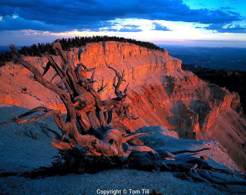 Bristlecone Pine at Sunset, Table Cliff Plateau, Utah  Pinus longaeva    One of longest living plant species  Dixie National Forest