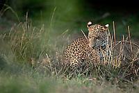 Sri Lankan Leopard. Yala National Park.