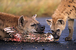 Spotted hyena, Crocuta crocuta, with remains of zebra, Kruger national park, South Africa