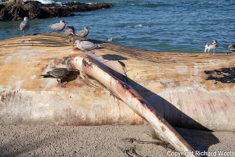 Seabirds feed on the carcass of a dead Blue Whale at Bean Hollow State Beach, California.
