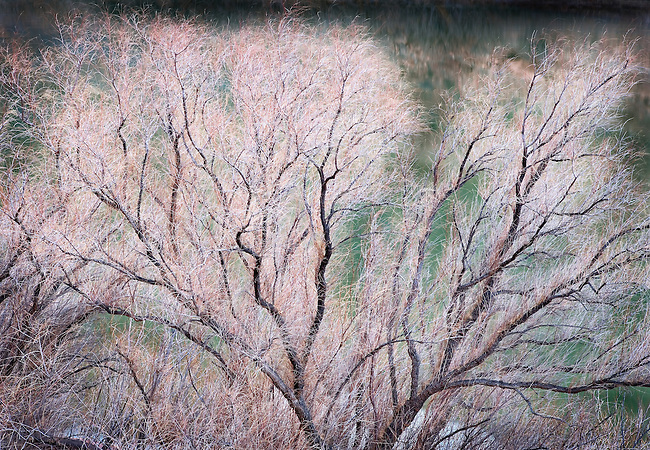Gooding's Willow Tree Along the Banks of the Colorado River, Moab, Utah
