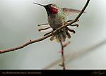 Anna's Hummingbird, Male Display, Descanso Gardens, Southern California