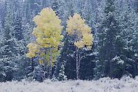 Aspen Trees, Snowstorm, Grand Teton NP,Wyoming, September 2005