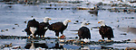 Bald eagles feeding on salmon, Chilkat River Valley, Alaska.