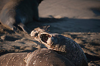 Adult male Northern Elephant seal (Mirounga angustirostris) fight on beach, Piedras Blancas, San Simeon, California