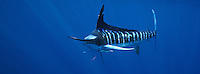 qf0596-D. Striped Marlin (Tetrapturus audax). Baja, Mexico, Pacific Ocean..Photo Copyright © Brandon Cole. All rights reserved worldwide.  www.brandoncole.com..This photo is NOT free. It is NOT in the public domain. This photo is a Copyrighted Work, registered with the US Copyright Office. .Rights to reproduction of photograph granted only upon payment in full of agreed upon licensing fee. Any use of this photo prior to such payment is an infringement of copyright and punishable by fines up to  $150,000 USD...Brandon Cole.MARINE PHOTOGRAPHY.http://www.brandoncole.com.email: brandoncole@msn.com.4917 N. Boeing Rd..Spokane Valley, WA  99206  USA.tel: 509-535-3489