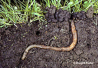 1Y01-020z  Earthworm  - in burrow, note castings at surface - Lumbricus terrestris