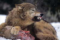 69492455 a captive gray wolf  canis lupus lays in a snowbank defending a deer carcass by snarling at an intruder and baring its fangs in central montana
