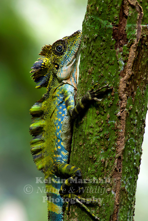 K Dragon Lizard Agamid lizard (Gonocep...