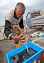 Cuttlefishes are sold as caught, still alive.
