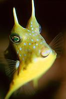 longhorn cowfish (c), .Lactoria cornuta, .Indo-Pacific Ocean.