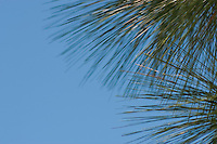 Pine tree needles and blue sky