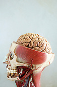 An anatomical model of the head showing the musculature of the head. The top half of the skull has been sliced open, displaying the top half of the brain. Anatomical models are commonly used for training purposes as they make for clearer demonstration than anatomical specimen. Royalty Free