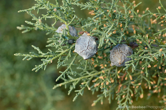Leaves and cones of Arizona cypress (Cupressus arizonica), Coronado National Forest, Arizona