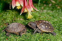 Two baby turtles-- siblings-- in intense disussion under a columbine flower in the garden