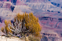 United States, Arizona, Grand Canyon. Mohave Point, a bush clinging to the rocks.