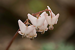 Dutchman's Breeches, wildflowers commonly found in the spring in Missouri woodlands.