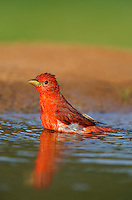 580980046 a wild male summer tanager pitanga rubra bathes in a small pond on the laguna seca ranch in the rio grande valley of south texas