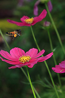 A giant bee flying to an aster flower.