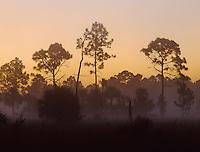 Pine trees in morning fog, Big Cypress National Preserve, Florida, December 1998