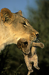 Lioness, Penthera leo, carrying cub, Kgalagadi Tranfrontier Park, South Africa