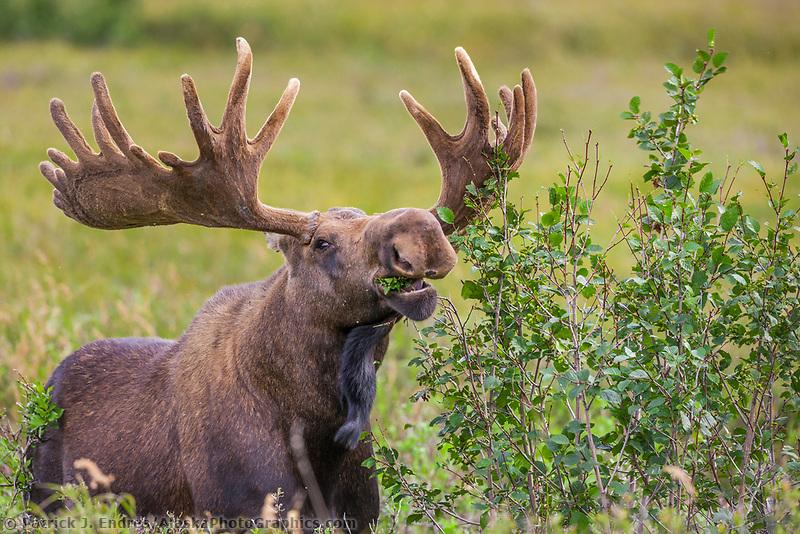 Bull moose in velvet antlers feeds on alder leaves on the tundra of Denali National Park, Alaska.